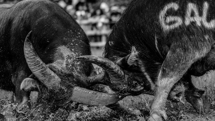 Stunning Photos of Indonesia's Brutal Buffalo Fights