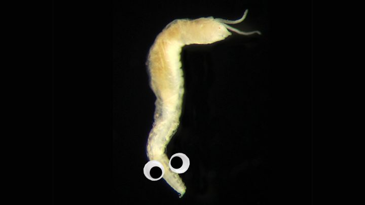 This Scottish Worm Has Eyes on Its Butt