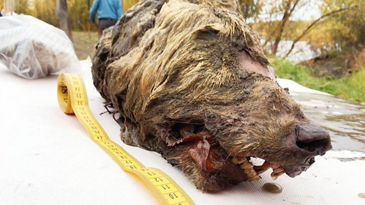 This 40,000-Year-Old Wolf Head Was Found in Siberian Permafrost