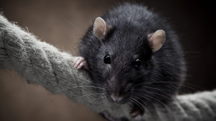GREAT NEWS: You Can Now Pay $50 to Hang Out in a Cafe Full of Live Rats
