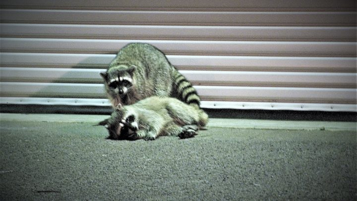 Highly Relatable Raccoons Busted for Being Day-Drunk in Residential Neighborhood