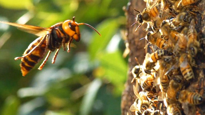 Watch a 'Murder Hornet' Destroy an Entire Honeybee Hive