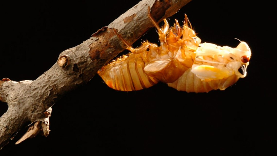 Invading Cicadas May Turn Into Sex-Crazed Zombies This Summer