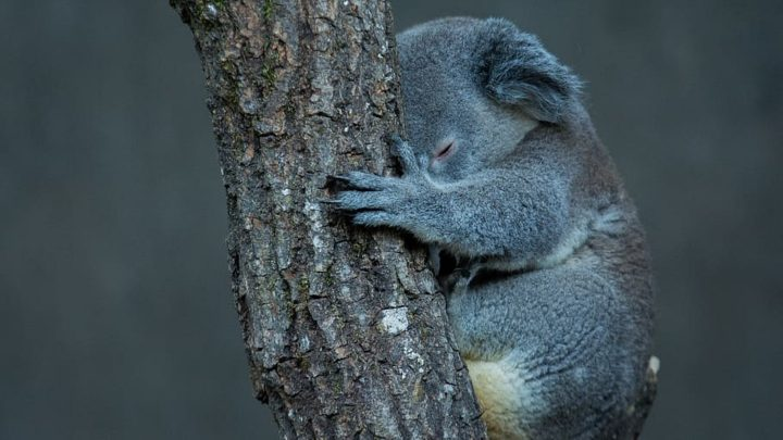 Koalas Face Extinction by 2050 in Parts of Australia, Inquiry Finds