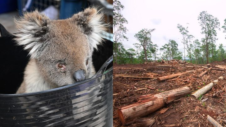 Koala Habitats that Survived Australia's Bushfires are Now Being Logged